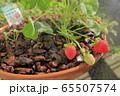 家庭菜園のイチゴ 65507574