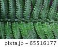 シダ植物 65516177