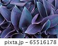 青紫色の葉 65516178