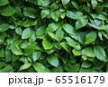 緑の葉 背景 65516179