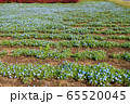 大宮花の丘農林公苑 春  ネモヒラ さいたま市 65520045