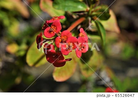 エウフォルビア・ミリー・スプレンデンス~長く咲き続ける丸くて可愛い花 65526047