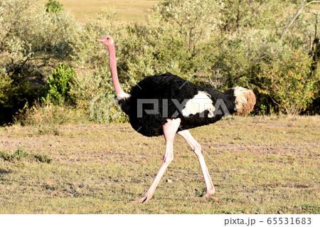 ダチョウ(マサイマラ国立保護区、ケニア) 65531683