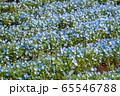 大宮花の丘農林公苑 春  ネモヒラ さいたま市 65546788