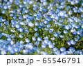 大宮花の丘農林公苑 春  ネモヒラ さいたま市 65546791