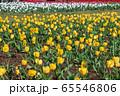 大宮花の丘農林公苑 春  チューリップ さいたま市 65546806