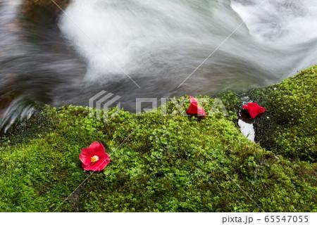 沢をバックに苔の上のヤブツバキの花 65547055