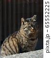 トラ猫 65552225