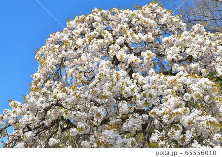 武蔵一宮 大宮氷川神社:境内の桜 65556010