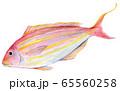 水彩イラスト 魚介 魚 イトヨリダイ  65560258