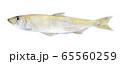 水彩イラスト 魚介 魚 わかさぎ 65560259