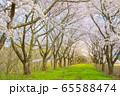 角館の桜 桜並木 満開 青空 65588474