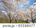 角館の桜 桜並木 満開 青空 65588477