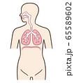 呼吸器 横隔膜 人体 65589602
