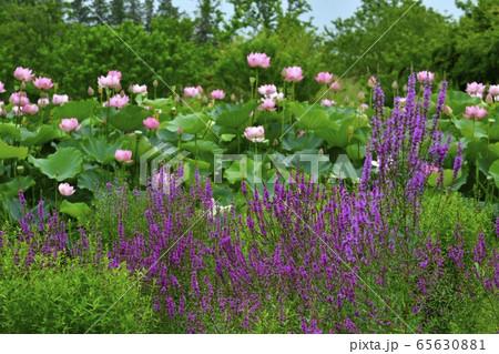 古河総合公園のミソハギと大賀ハスの花 65630881