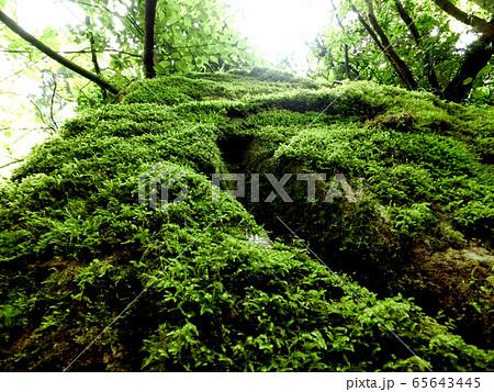 苔を蓄えた大木 65643445