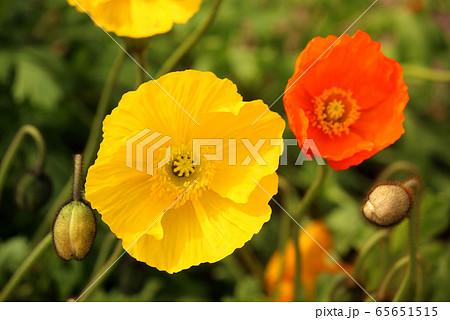 明るい色彩の黄色いアイスランドポピー(6) 65651515