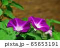 朝顔 65653191