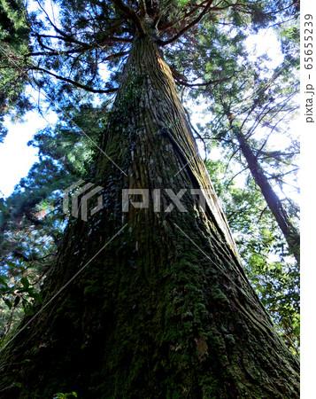 春を迎える大木 65655239