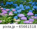 紫陽花 65661518