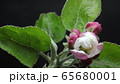 blooming blossom apple tree flower in the garden, spring time lapse, isolated on black 65680001
