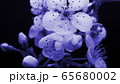 Spring blue flowers opening. Beautiful Spring plum tree blossom open timelapse, extreme close up 65680002