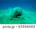 Close view on cute and amazing dugong.Underwater shot. A diver in flippers and mask looking on quite rare ocean animal who eating seagrass underwater.The huge sea cow.Dugon.Underwater fauna and flora. 65698469