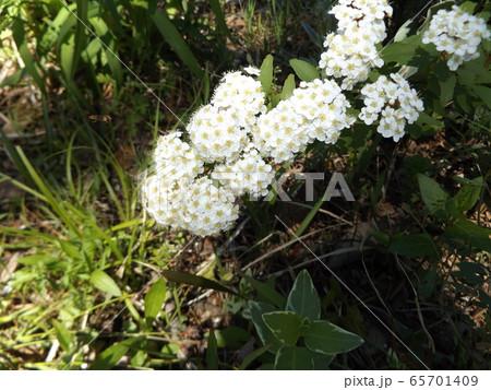 白い綺麗な花はコデマリの花 65701409