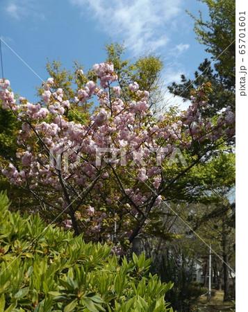八重の桜は遅咲きのサクラ 65701601