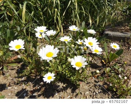 ノースポールの可愛い小さな白い花 65702107