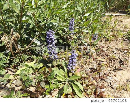 紫色の花が重なって咲くジュウニヒトエの花 65702108