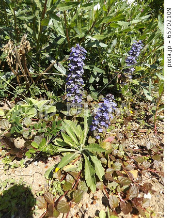 紫色の花が重なって咲くジュウニヒトエの花 65702109