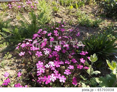 すっと伸びた茎に可憐な桃色の花を咲かすサクラソウ 65703038