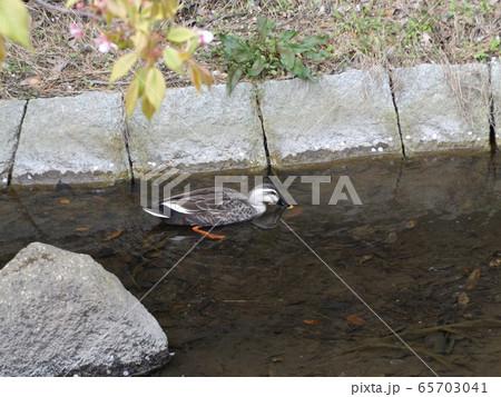 稲毛海浜公園の池からの水路のカルガモ 65703041
