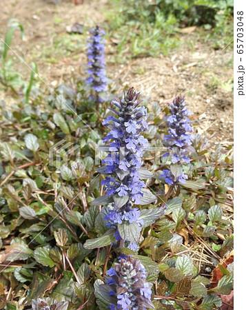 紫色の花が重なって咲くジュウニヒトエの花 65703048