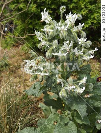 白い星型の花はボリジの花 65703051