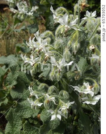白い星型の花はボリジの花 65703052
