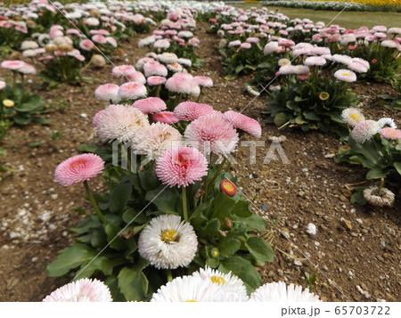 ヒナギクの半球状の可愛い桃色の花 65703722