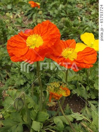 アイルランドポピーのオレンジ色の花 65703724
