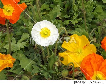 アイルランドポピーのオレンジ色と白い花 65703725