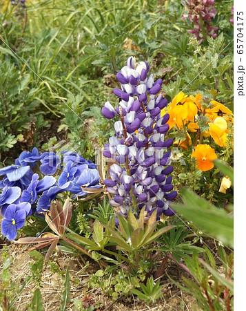 昇藤とも言われるルピナスの青淵白色の花 65704175
