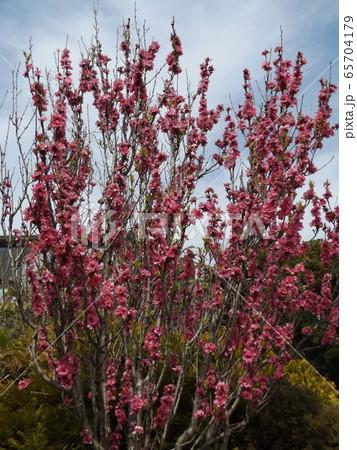 花桃の桃色の花 65704179