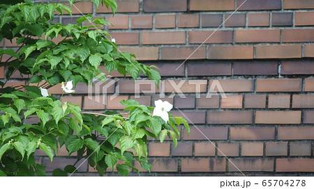 レトロな煉瓦塀に映える白いヤマボウシ 65704278