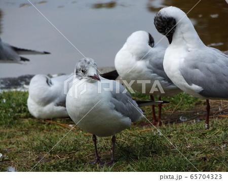 黒い夏毛になってもう直ぐ帰る冬の渡り鳥ユリカモメ 65704323