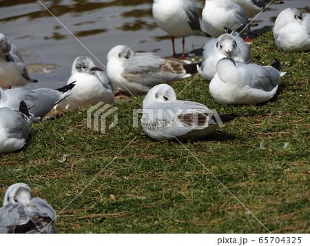 黒い夏毛になってもう直ぐ帰る冬の渡り鳥ユリカモメ 65704325