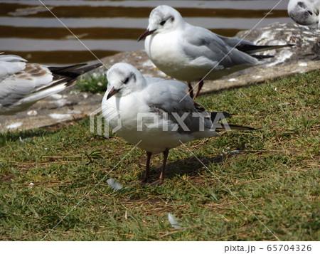 黒い夏毛になってもう直ぐ帰る冬の渡り鳥ユリカモメ 65704326