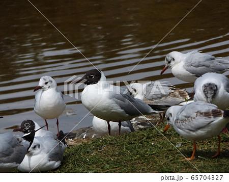黒い夏毛になってもう直ぐ帰る冬の渡り鳥ユリカモメ 65704327
