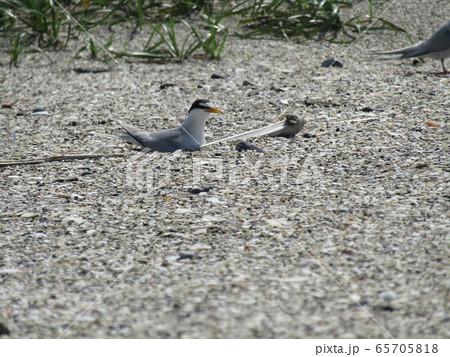 検見川浜の営巣地で抱卵中のコアジサシ 65705818