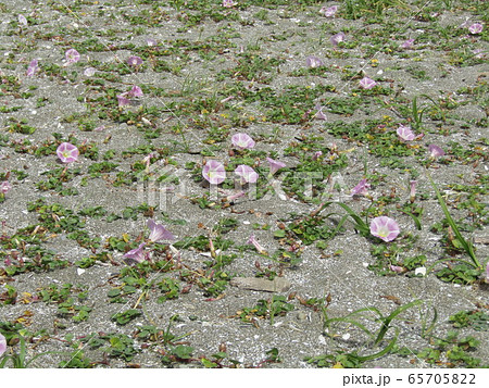 咲き始めた検見川浜のハマヒルガオ 65705822