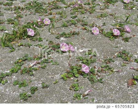 咲き始めた検見川浜のハマヒルガオ 65705823